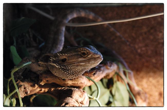 001_lizard