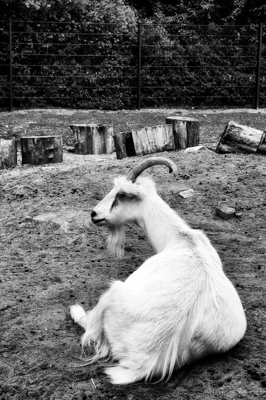 004_goat